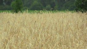 Campi con orecchio e la classe dell'oro di secale cereale della segale il bio-, sviluppati estesamente come grano, bello Hana Lan stock footage