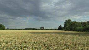 Campi con oro dell'avena sativa dell'avena il bio-, sviluppato estesamente come grano, bello Hana Landscape Of Countryside, detta stock footage