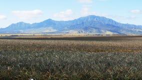 Campi degli ananas alla piantagione del sussidio stock footage