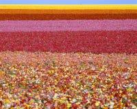Campi dei fiori del ranunculus Fotografie Stock Libere da Diritti