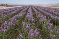 Campi dei fiori viola Immagini Stock Libere da Diritti