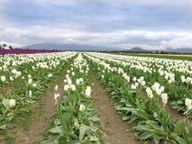 Campi dei tulipani Immagine Stock