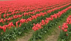 Campi dei tulipani Immagini Stock