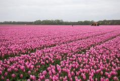 Campi dei tulipani del Bollenstreek, l'Olanda Meridionale, Paesi Bassi immagine stock libera da diritti