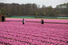 Campi dei tulipani del Bollenstreek, l'Olanda Meridionale, Paesi Bassi fotografie stock libere da diritti