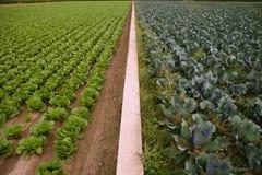 Campi del cavolo, righe di alimento di verdure Immagini Stock Libere da Diritti
