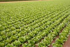 Campi del cavolo, righe di alimento di verdure Fotografia Stock Libera da Diritti