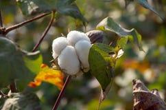 Campi del cotone pronti per la raccolta, agricoltura fotografia stock