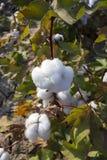 Campi del cotone pronti per la raccolta, agricoltura fotografia stock libera da diritti