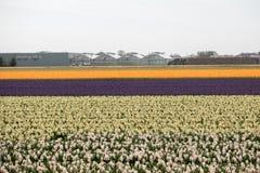 Campi del giacinto e del tulipano del Bollenstreek, l'Olanda Meridionale Immagine Stock