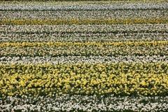 Campi del giacinto e del tulipano del Bollenstreek, l'Olanda Meridionale, Fotografie Stock