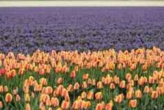 Campi del giacinto e del tulipano del Bollenstreek, l'Olanda Meridionale, Immagine Stock