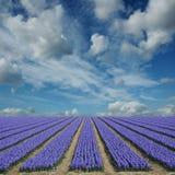 Campi del giacinto in Olanda Fotografia Stock Libera da Diritti