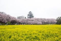 Campi del nanohana di fioritura giallo con i fiori di ciliegia rosa dietro: Parco di Gongendo in Satte, Saitama, Giappone Immagine Stock Libera da Diritti