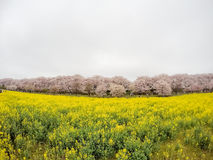 Campi del nanohana di fioritura giallo con i fiori di ciliegia rosa dietro: Parco di Gongendo in Satte, Saitama, Giappone Fotografia Stock
