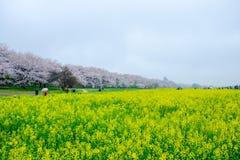 Campi del nanohana di fioritura giallo con i fiori di ciliegia rosa dietro: Parco di Gongendo in Satte, Saitama, Giappone Fotografie Stock