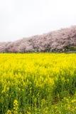 Campi del nanohana di fioritura giallo con i fiori di ciliegia rosa dietro: Parco di Gongendo in Satte, Saitama, Giappone Immagini Stock
