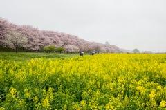 Campi del nanohana di fioritura giallo con i fiori di ciliegia rosa dietro: Parco di Gongendo in Satte, Saitama, Giappone Fotografie Stock Libere da Diritti
