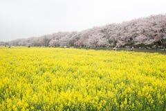 Campi del nanohana di fioritura giallo con i fiori di ciliegia rosa dietro: Parco di Gongendo in Satte, Saitama, Giappone Fotografia Stock Libera da Diritti