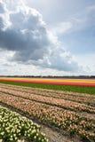 Campi del narciso e del tulipano nei Paesi Bassi Fotografia Stock Libera da Diritti