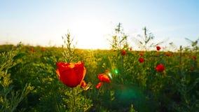 Campi del papavero al tramonto Fiori rossi con i gambi verdi, campi enormi Raggi luminosi del sole fotografie stock