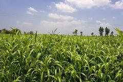 Campi del raccolto Fotografie Stock