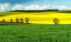 Campi del seme di ravizzone e del mais in primavera Fotografia Stock