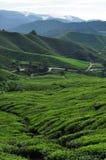 Campi del tè con le montagne Fotografia Stock