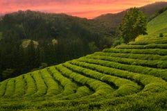 Campi del tè di Boseong Fotografie Stock Libere da Diritti
