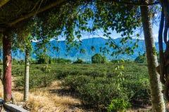 Campi del tè di Rift Valley orientale Fotografia Stock