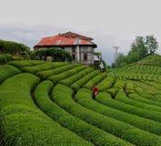 Campi del tè in Rize Giardino verde fotografie stock libere da diritti
