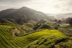 Campi del tè su una collina di mattina Immagine Stock