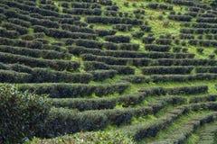 Campi del tè in Tailandia Fotografia Stock