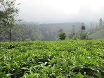 Campi del tè verde fotografia stock libera da diritti