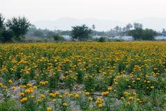 Campi del tagete, fiore in Tailandia Immagine Stock