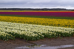 Campi del tulipano Immagine Stock Libera da Diritti