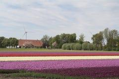 Campi del tulipano Fotografia Stock Libera da Diritti