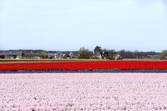 Campi del tulipano e del giacinto Fotografia Stock Libera da Diritti