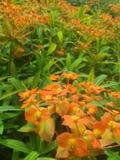 Campi dell'arancia fotografia stock