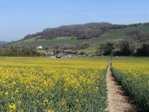 Campi dell'azienda agricola della colza e passeggiata gialli di via Fotografia Stock
