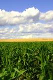 Campi dell'oro e di verde, cieli blu II Immagine Stock Libera da Diritti