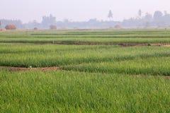 Campi della cipolla sotto il Sun a nord della Tailandia Immagini Stock Libere da Diritti