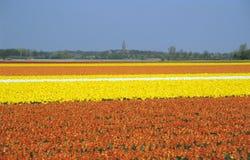 Campi della lampadina - Paesi Bassi Fotografia Stock Libera da Diritti