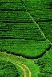 Campi della piantagione di tè Immagine Stock Libera da Diritti