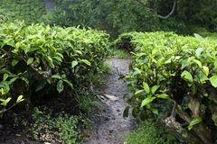 Campi della piantagione di tè degli altopiani di Cameron Fotografie Stock Libere da Diritti