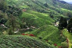 Campi della piantagione di tè degli altopiani di Cameron Immagine Stock