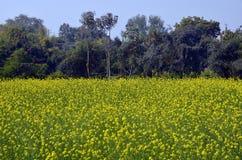Campi della senape in Kajuraho, India Fotografie Stock