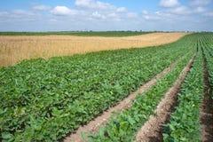Campi della soia e del frumento Fotografia Stock Libera da Diritti