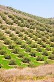 Campi delle olive Fotografia Stock