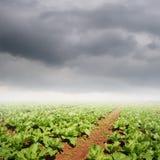 Campi delle verdure e nuvole di pioggia per agricoltura Immagine Stock